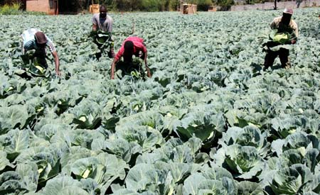cabbage farm Agriculture vegetables